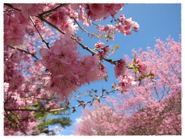 【散步】2011 2/26武陵農場賞櫻去!!粉紅山頭美炸了!!! @凱的日本食尚日記