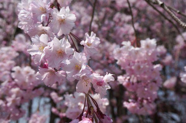 【2014京阪賞櫻】大阪京都5天4夜行程規劃。地鐵圖片懶人包 @凱的日本食尚日記