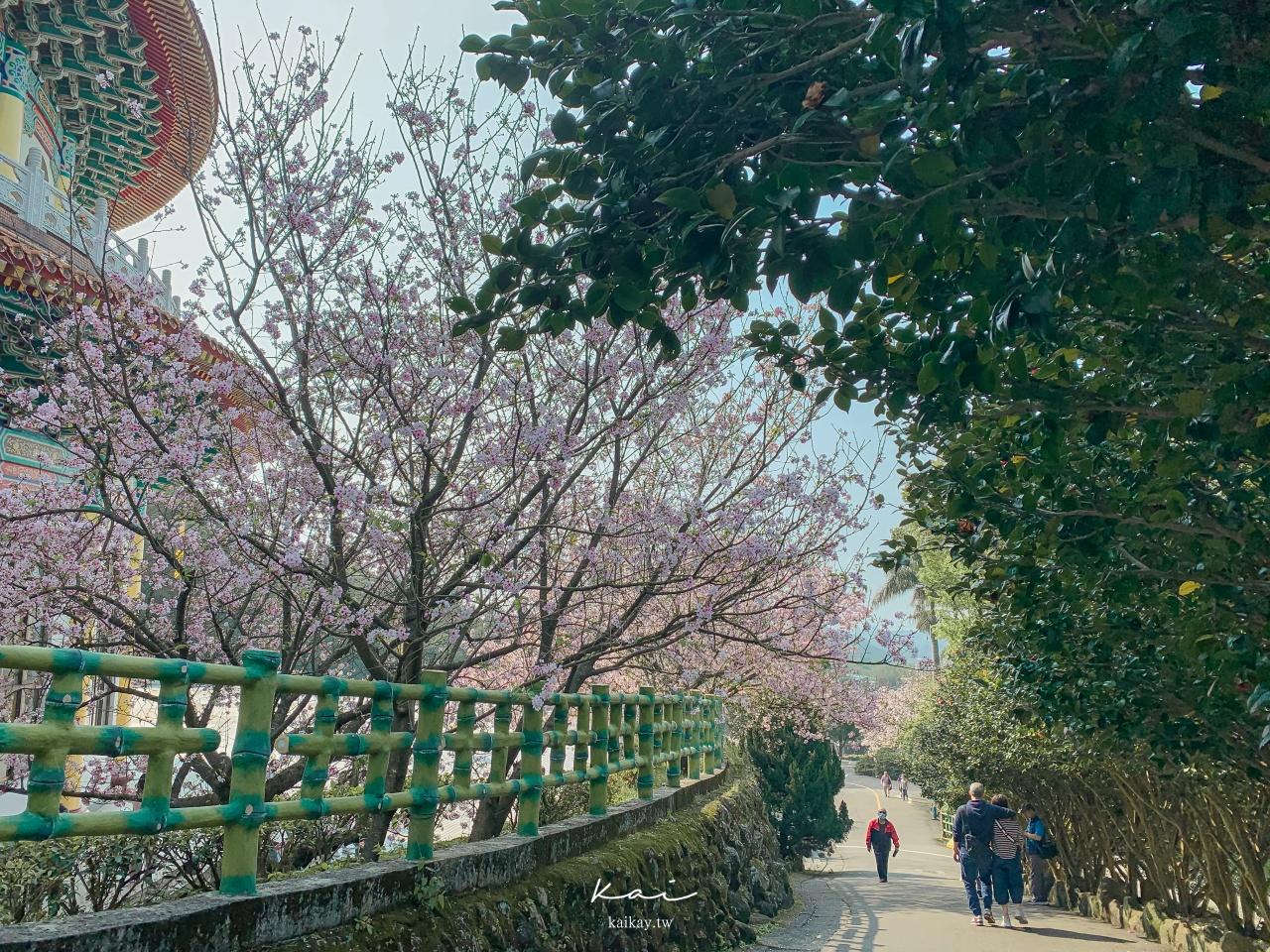 ☆【新北|淡水】2021最新花況!天元宮三色櫻、吉野櫻接力盛放。捷運、公車、停車場資訊