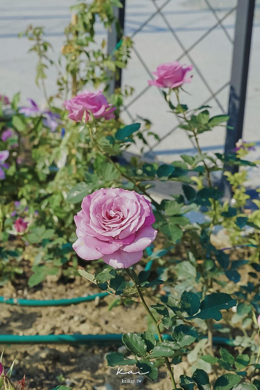 ☆【台北|圓山站】2021台北玫瑰展搶先看。闖入紅心皇后的五彩玫瑰園
