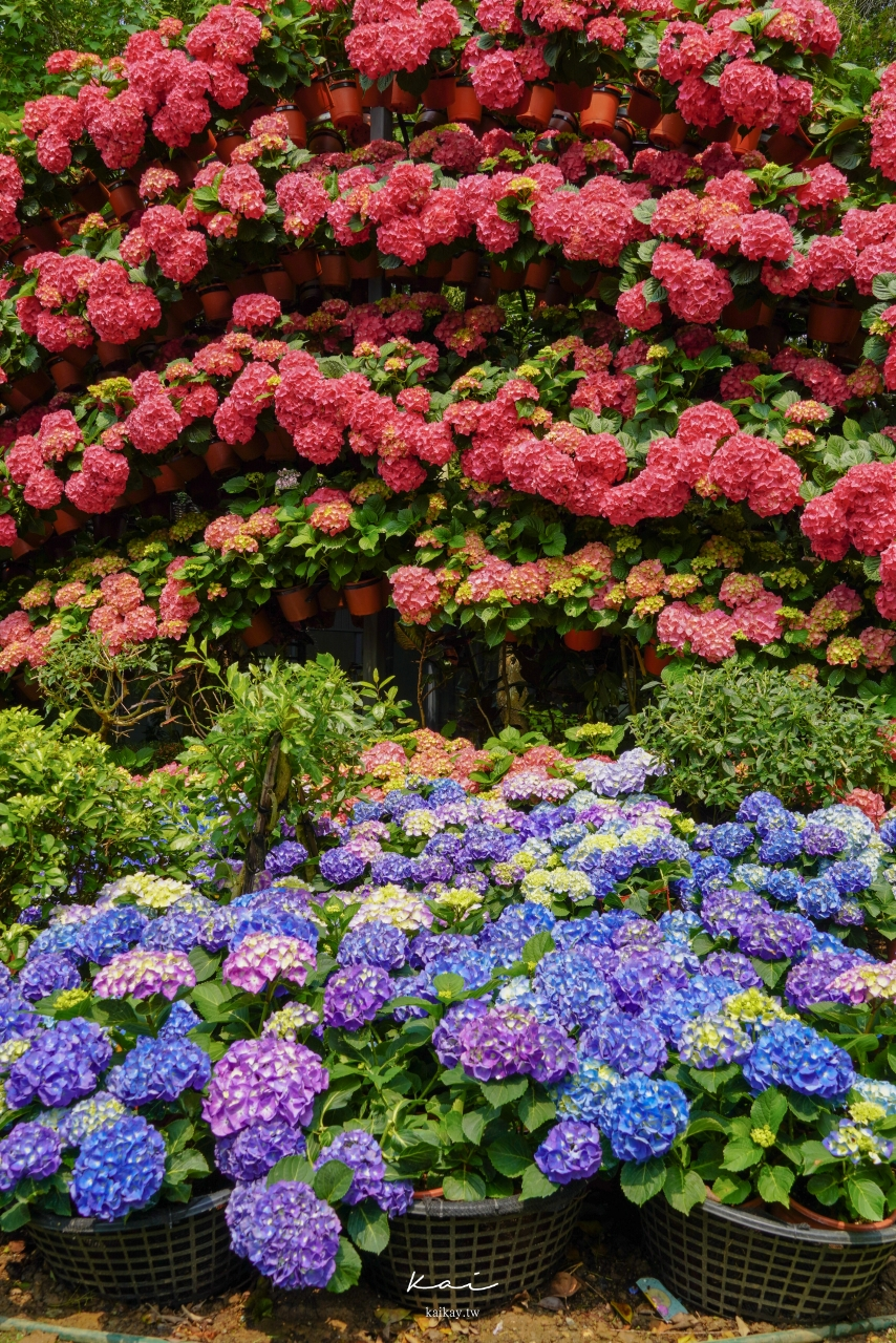 ☆【苗栗景點】花露休閒農場。夢幻繡球花海x玻璃花屋x蘭花館 絕美賞花景點